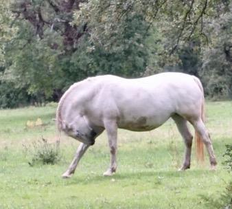 Lipica horse 2