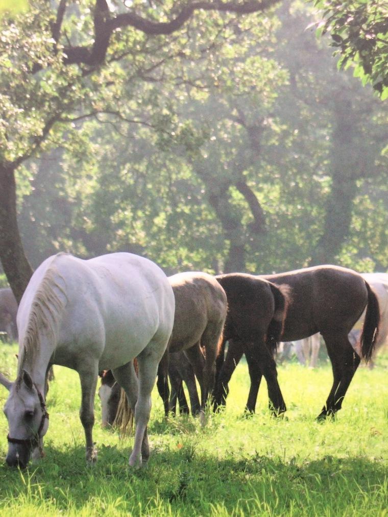 Lipica horse 3