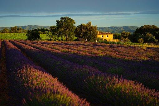 lavender-field-1595559__340.jpg